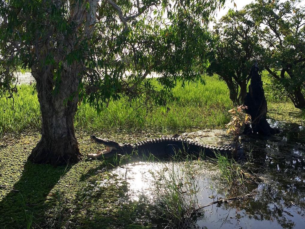 Crocodile at Yellow Water
