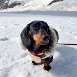 A Doggie Day Out: Visiting Jungfraujoch with a Dog