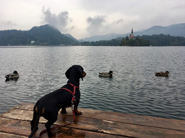 Lake Bled with Dog
