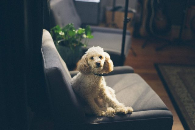 Poodle Cross On Seat