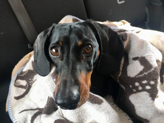 Pets in rental cars